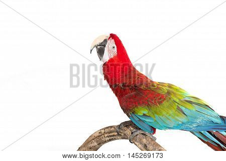 Action of scarlet macaw birds on branch of tree the beautiful colorful parrot birds isolated on white bakcground.