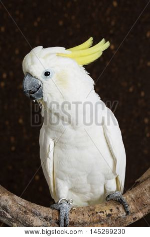 Portrait of Sulphur-crested Cockatoo Cacatua galerita on branch.