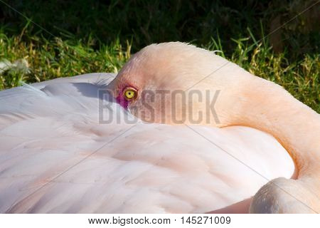 A close up of a flamingo with his beak tucked under his wing. He is in bright sunlight and his eye glows yellow.