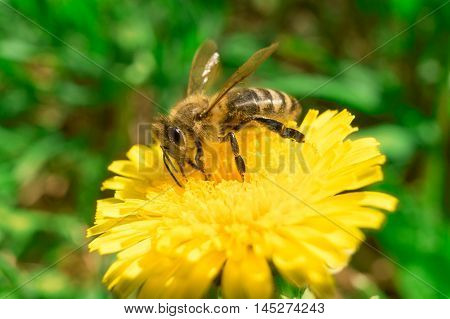 Bee collecting nectar of honey on the dandelion
