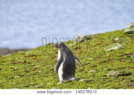 Gentoo penguin on the moss at Antarctica