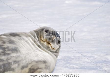 Weddell seal lying on the snow at Antarctica