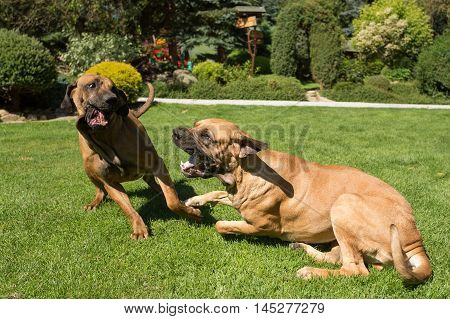 Two Female Of Fila Brasileiro (brazilian Mastiff)