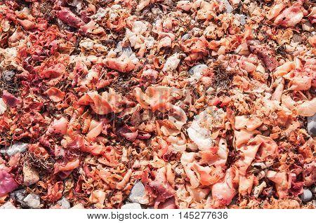 Red and dried macro algae on the sand beach