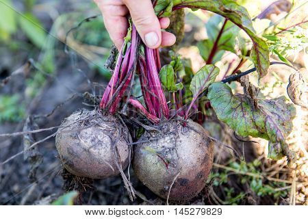 The farmer collects the beet on the field in autumn. Harvest beet in the autumn