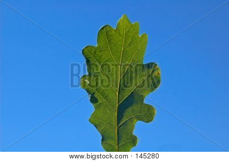 Oak Leaf And Sky