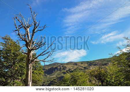 Death tree and the forest at Torres del Paine National Park
