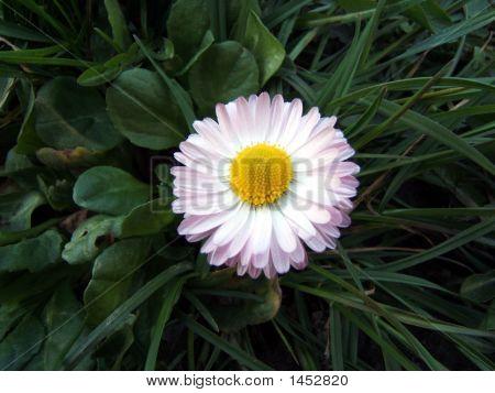 Daisy 4