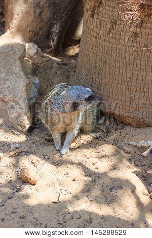 Meerkats Sitting Afternoon On Sand Under The Sun