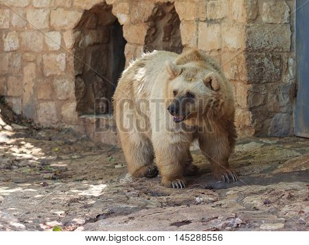 Syrian Bear  Standing In The Shadow Of The Day
