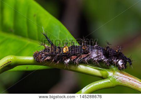 Mature Knight Caterpillar
