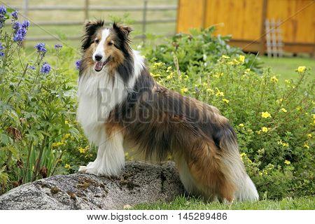 Shetland Sheepdog standing on rock in garden, watching