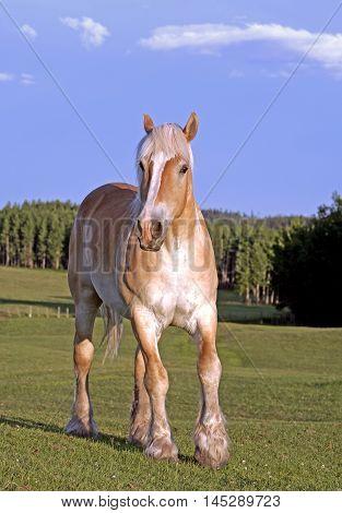 Horse Belgium Gelding standing in meadow portrait