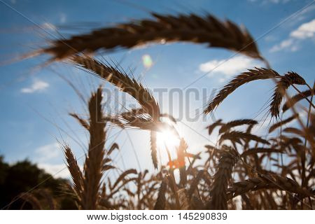 Golden wheat ear closeup on field and blue sky background. Harvest and farming concept. Agricultural business. Backlight image