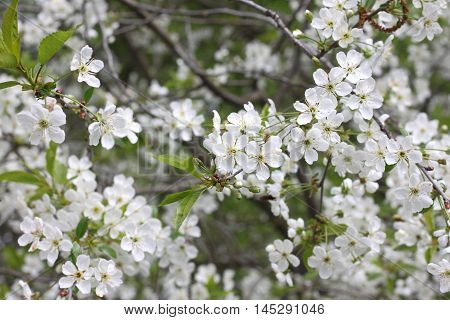Spring floral background, white flowers on the branches of a cherry tree with green leaves.