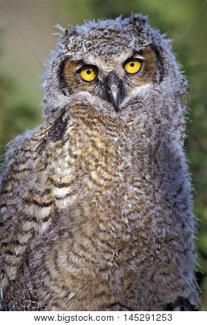 Baby Great Horned Owl sitting portrait close up