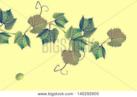 The branch of grapes isolated on yellow background.