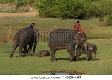 two pairs big elephant and baby walking in the jungle with mahout