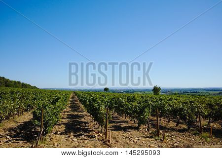 Harvest in vineyards in chateau Chateauneuf-du-Pape France