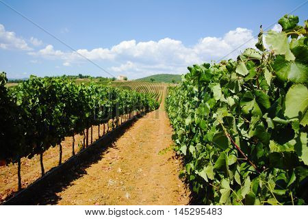 Harvest time on Tuscany vineyards, landscape in Italy