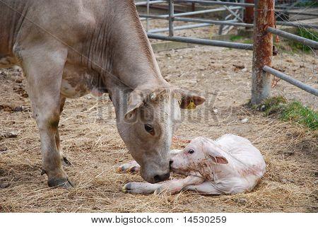 Newborn Bull Calf