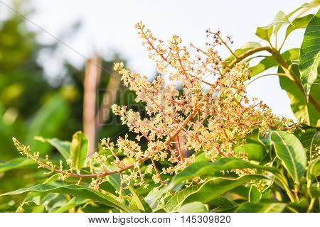 Mango's Flowers