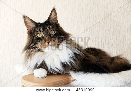 Brown tabby with white Maine Coon cat on top of his cat tree looking straight at you.