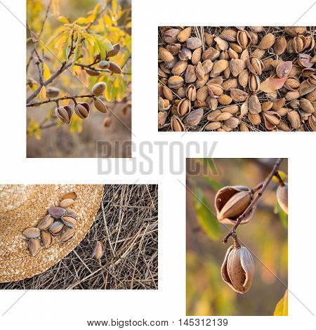 Collage of ripe almonds on the branches harvesting almonds almonds on the straw hat 4 photos on the white background. Collage from 4 photos of ripe almonds. Horizontal. Vertical. Daylight.
