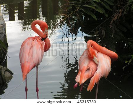 Pink American Flamingos in water in Florida