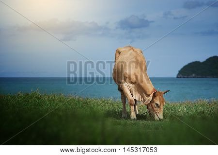 Cow Eating A Green Grass Near The Sea, Blurred Sea With Bluesky And Island Background,green Grass On