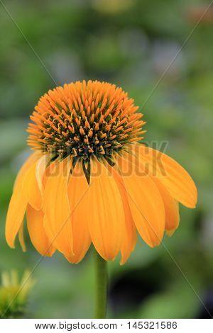Pretty yellow flower in late Summertime garden.
