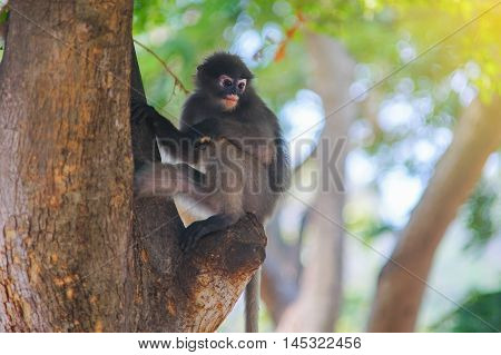 Dusky leaf monkey Dusky langur Spectacled langur selective focus filtered imagelight effect added