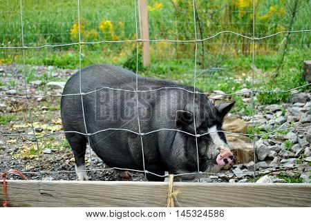 Young Black Pig Enclosed in a Pig Pen