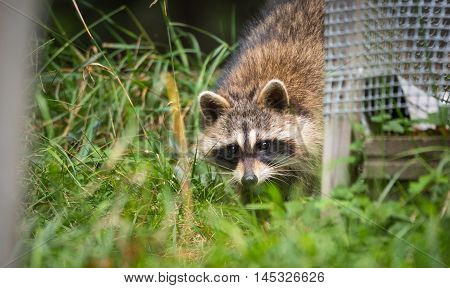 Raccoon (Procyon lotor(s) in woods at a feeder.  Smart young animals shyly make an appearance from the woods.