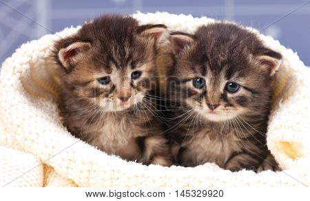 Cute little kittens in the warm knitted sweater over light-blue background