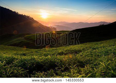 Tea plantation in the morning Cameron highlands Malaysia