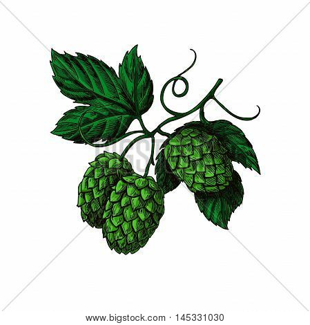 Hop plant vector drawing illustration. Hand drawn artistic beer hopes with leaves on branch. Vintage isolated object on  white background. Engraved element for label, banner, icon, menu, oktoberfest