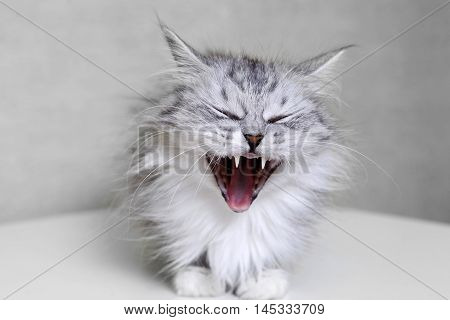 Cat yawning but can appear to be smiling