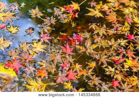 Colorful  Autumn maple leaf on the water