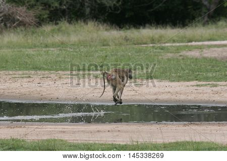Wild Monkey Africa Field Mammal Animal