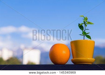 Almaty, Kazakhstan - August 25, 2016. An orange fruit and a little orange bonsai tree in a pot view from a balcony.