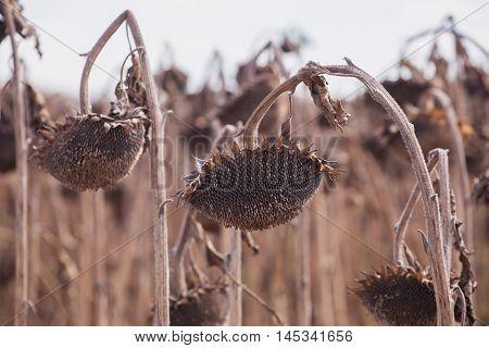 Harvest ripe dry sunflower on the field.