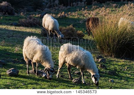 A flock of sheep graze in a green field at sunset in Kos island, Greece