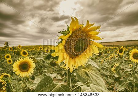 Is the photograph of a sunflower in a field full of sunflowers stormy summer afternoon