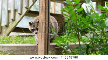Raccoon (Procyon lotor(s) at a feeder.  Smart young animal shyly makes an appearance from the woods.