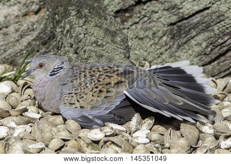 European turtle dove (Streptopelia turtur) resting on seashells. This species of bird was once considered sacred but is now included on the Red List of conservation concern. It is a symbol of peace and love.