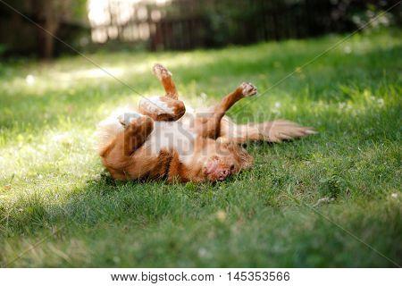 Dog Nova Scotia Duck Tolling Retriever Lying In The Garden