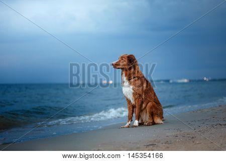 Dog Nova Scotia Duck Tolling Retriever sitting on the beach near the sea