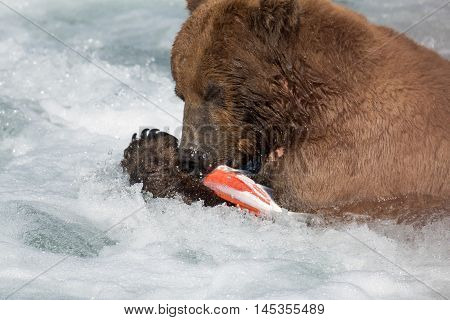 Alaskan Brown Bear Eating Salmon
