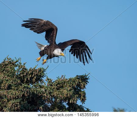Bald Eagle Taking Flight From A Tree